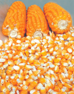 Maiz alto grado proteico